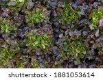 fresh organic green oak lettuce ... | Shutterstock . vector #1881053614