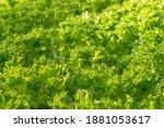 fresh organic green oak lettuce ... | Shutterstock . vector #1881053617