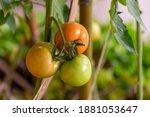 fresh lot of tomato hanging ... | Shutterstock . vector #1881053647