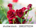 Red Rose Flower Background. Red ...