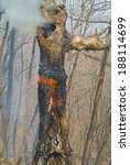 Small photo of An ablaze tree in forest fire. Early spring.