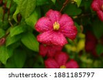 Blooming Clematis  Purple...