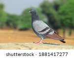 A Pigeon Bird Stands In The...