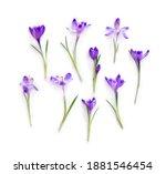 Violet crocuses on a white...
