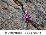 Purple Saxifrage  One Of The...
