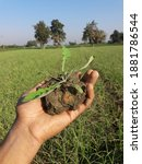 Uproot Weed For Removing From...