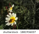 Closeup Of A Bee On A Camomile...