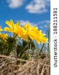 Small photo of Yellow flowers of Adonis (Adonis vernalis)