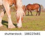 Blond Belgian Draft Horse...