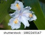 Sydney Australia  White Iris...