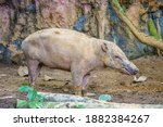 A Female Buru Babirusa Stands...