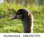 Beautiful Duck  Egyptian Goose  ...