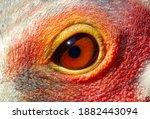 Eye Of A Sarus Crane Bird ...