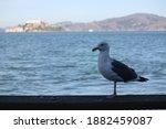 Sea Gull In Front Of Alcatraz...