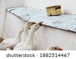 Domestic farm white geese bite...