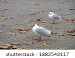 Two Seagulls Standing On Cement ...