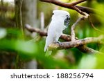 White Cockatoo Parrot Sitting...