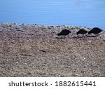 Waterscape Of American Coots On ...