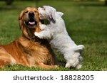 Stock photo sealyham terrier and golden retriever 18828205