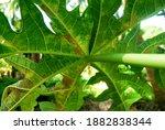 Papaya Plant Virus.nguyen...