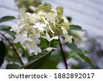 Flowers Of Hydrangea Paniculata ...