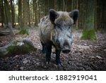 Sus Scrofa. The Wild Nature Of...
