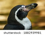 Humboldt Penguin From South...