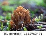 Ramaria Coral Mushrom In The...