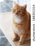 Stock photo beautiful furry cat on the marble tile 188301314