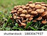 Closeup Of Brown Mushrooms In...