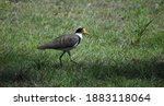 Masked Lapwing Spur Winged...