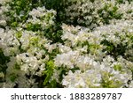 Bush With Flowers Of White...