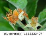 Winter Moth  Operophtera...