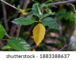 Hibiscus Leaves That Have...