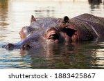 Hippopotamus Head In Surface...