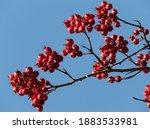 red berries tree christmas... | Shutterstock . vector #1883533981