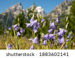 Alpine Shooting Stars In Summer ...