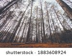 Tall Barren Forest Tree...