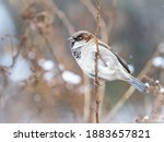 Sparrow Sits On A Branch...