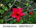 Red Hibiscus In Madeira Island