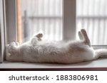 White Fluffy Scottish Fold Cat...
