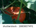 Large Ripe Orange Pumpkin In...