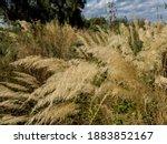 Invasive Common Reed ...