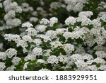 spiraea thunbergii blooming... | Shutterstock . vector #1883929951