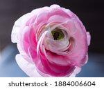 Close Up Of A Pink Persian...