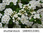 spiraea thunbergii blooming... | Shutterstock . vector #1884013381