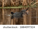 One American Coot Eating The...