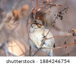 Sparrow Sits On A Bush Branch...