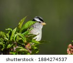 White Crowned Sparrow Perched...