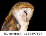 Sleeping Barn Owl Under The...